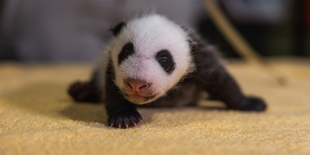 Bebé panda lindo