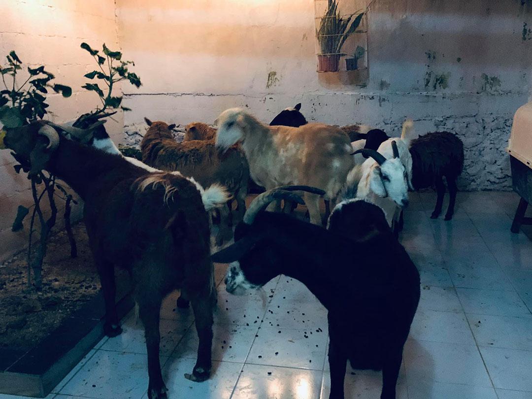 Cabras rescatadas