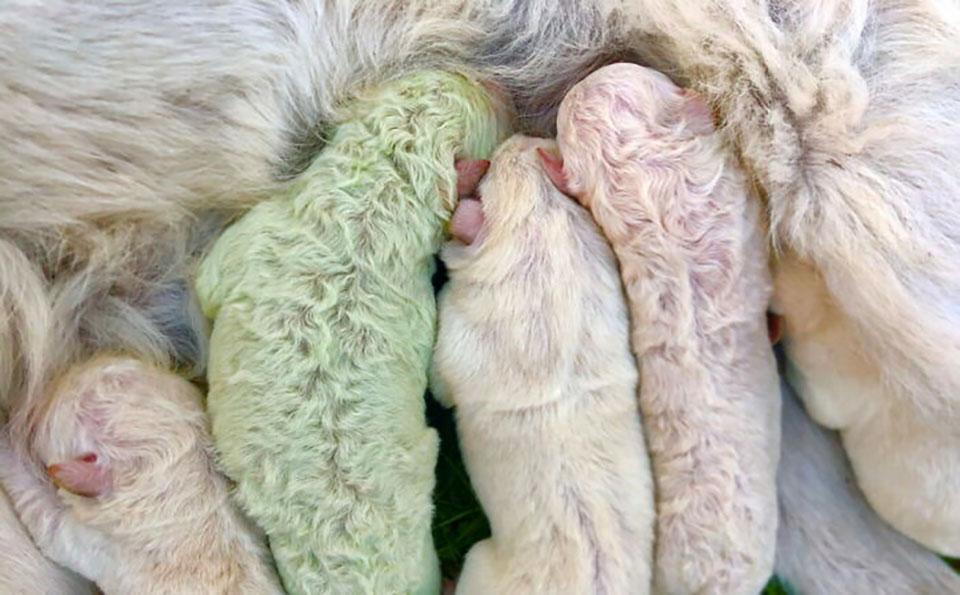 Cachorro de pelaje color verde