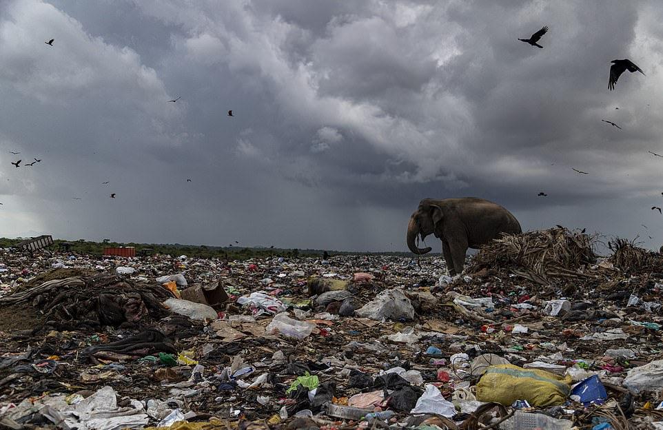 Elefante basurero