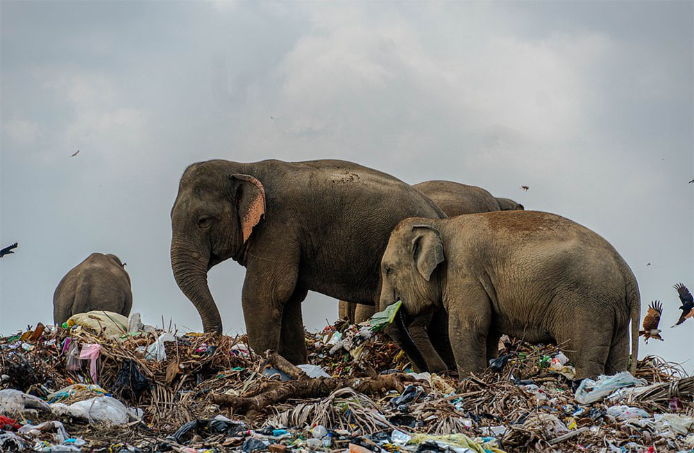 Elefantes basurero