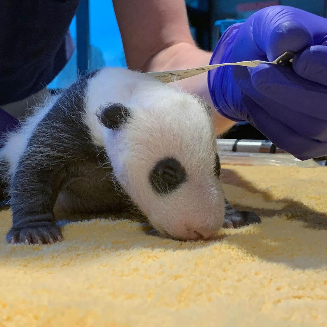 Exámenes cachorro panda
