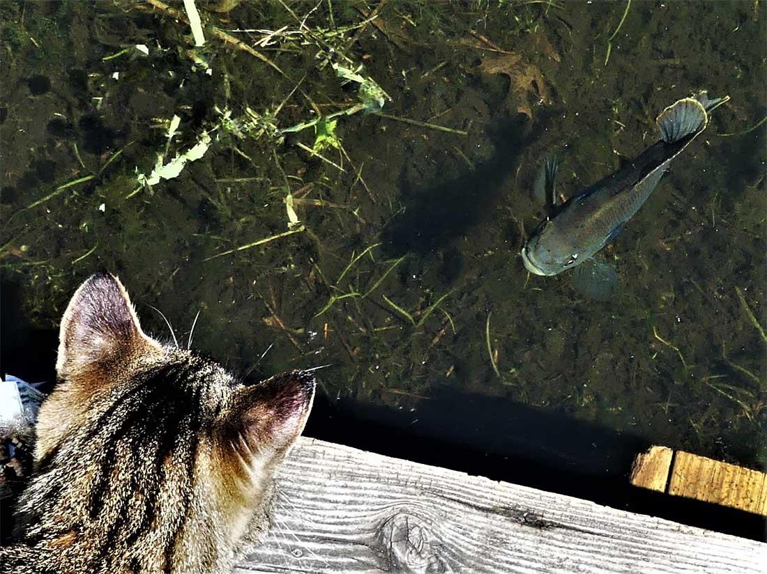 Gato observa al pez