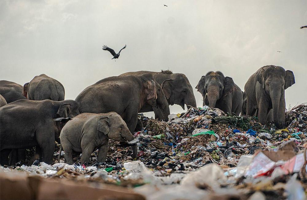 Manada de elefantes basurero