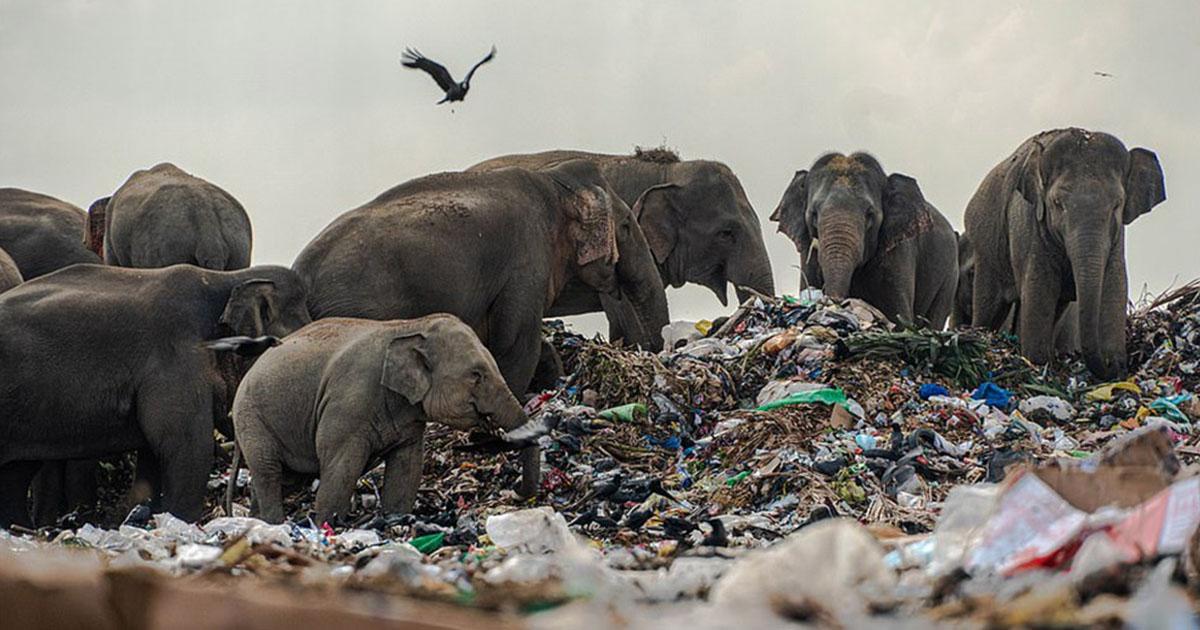 Manada de elefantes hambrientos captados comiendo basura