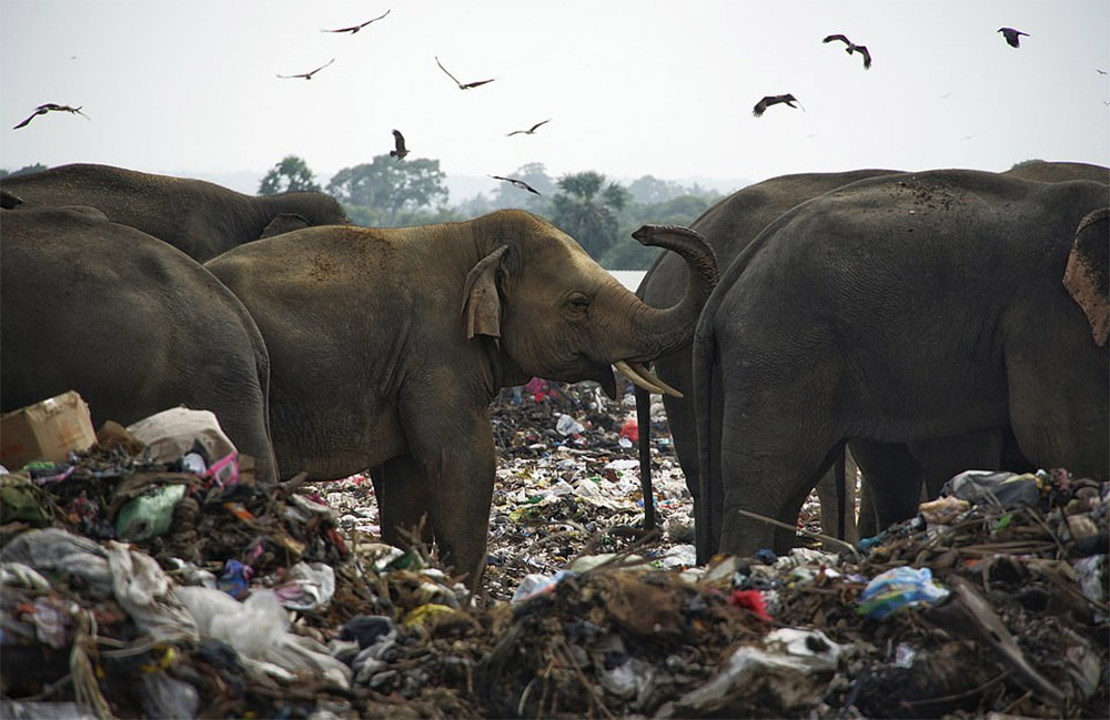 Manada de elefantes vertedero