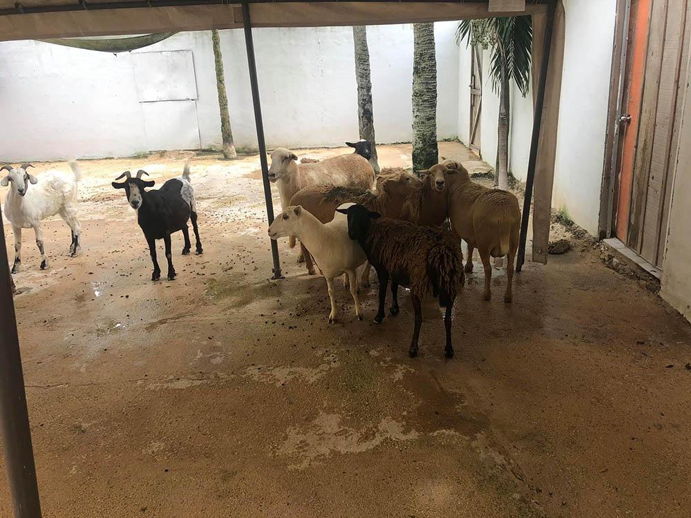 Ovejas y cabras rescatadas