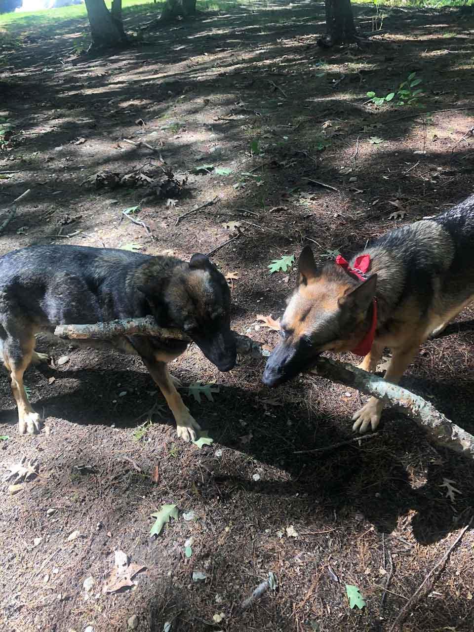 Perros jugando en el bosque