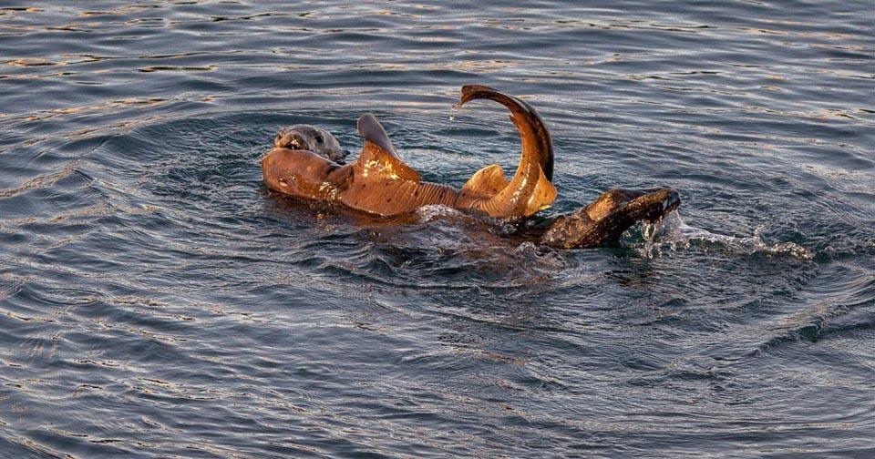 Abrazo entre nutria y tiburón
