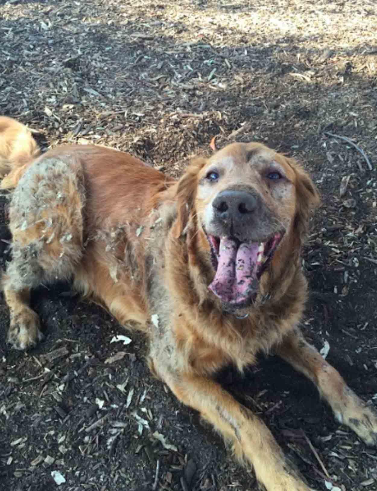 Adorable perro dorado