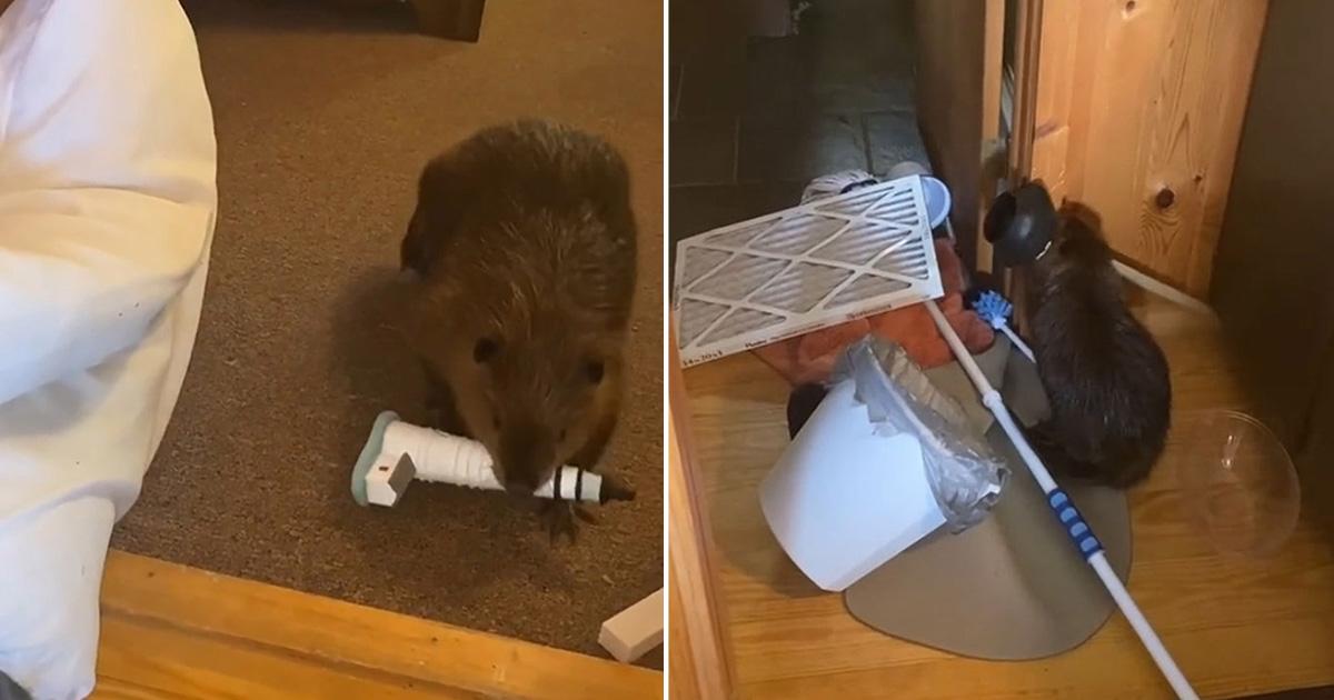 Bebé castor rescatado construye presas en casa