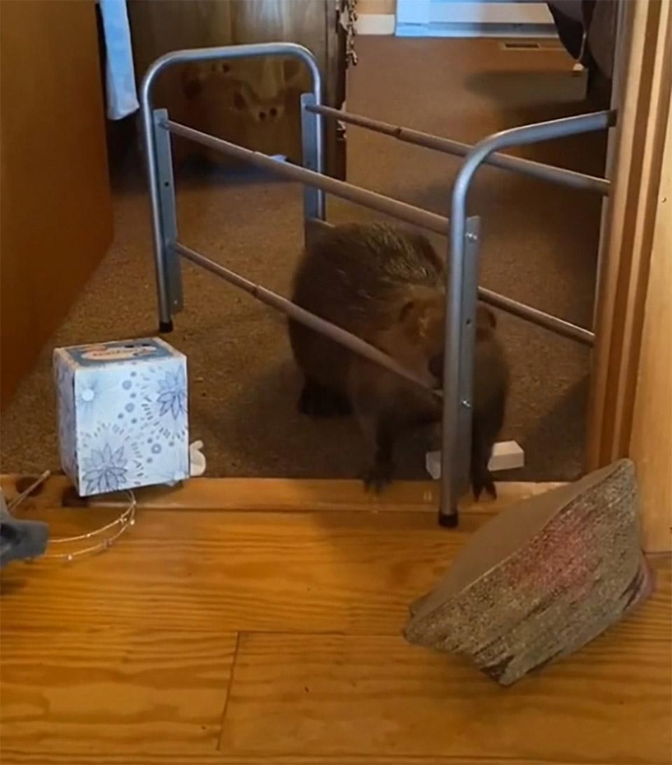 Bebé castor rescatado represa