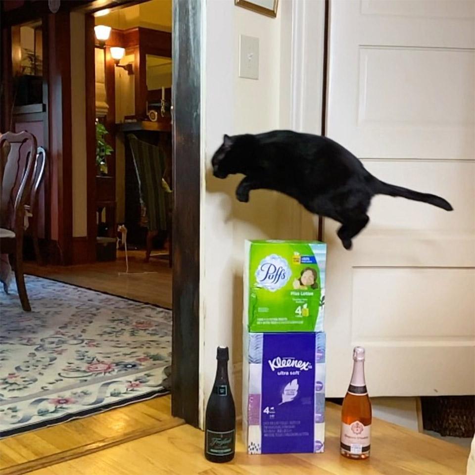 Este gato salta siempre