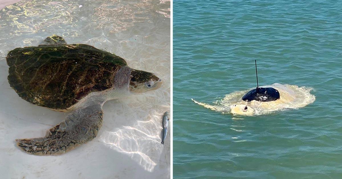 Tortuga marina aprende nadar nuevamente