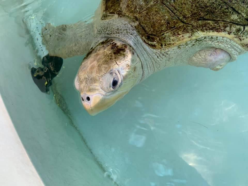 Tortuga marina aprende nadar