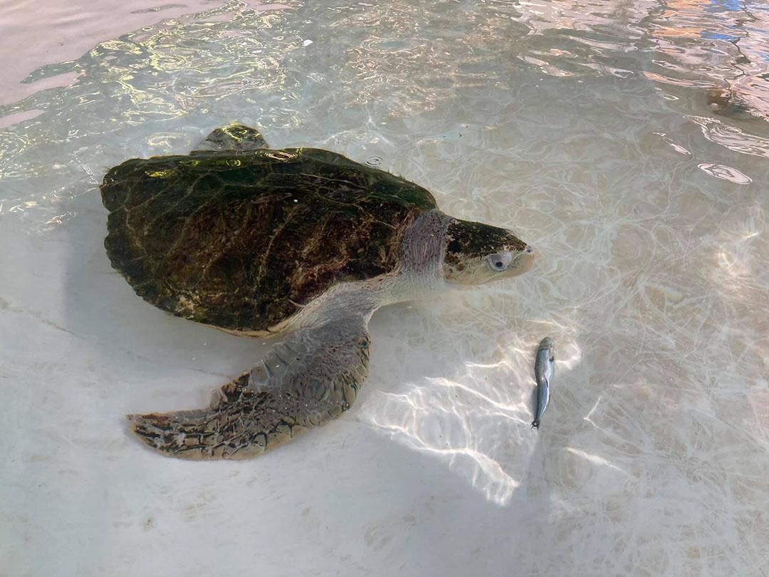 Tortuga marina aprende