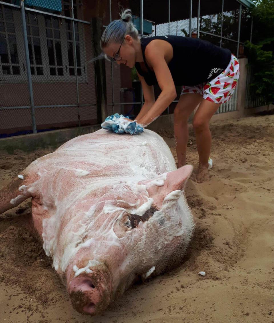 Cerdo relajado