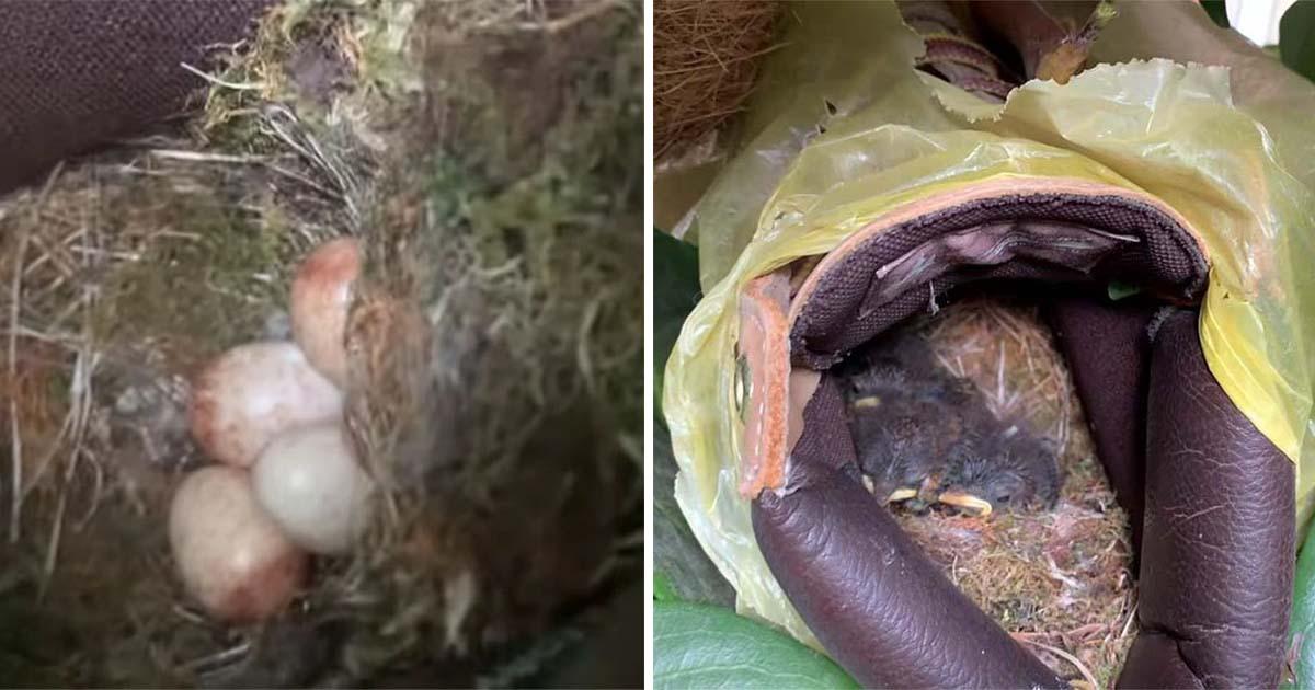 Chico descubre a una mamá petirrojo que hizo un nido en su bota