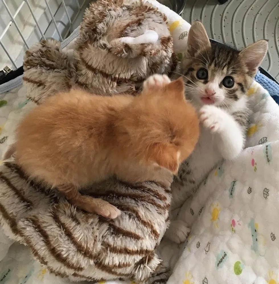 Gatito rescatado maullaba con Sunshine