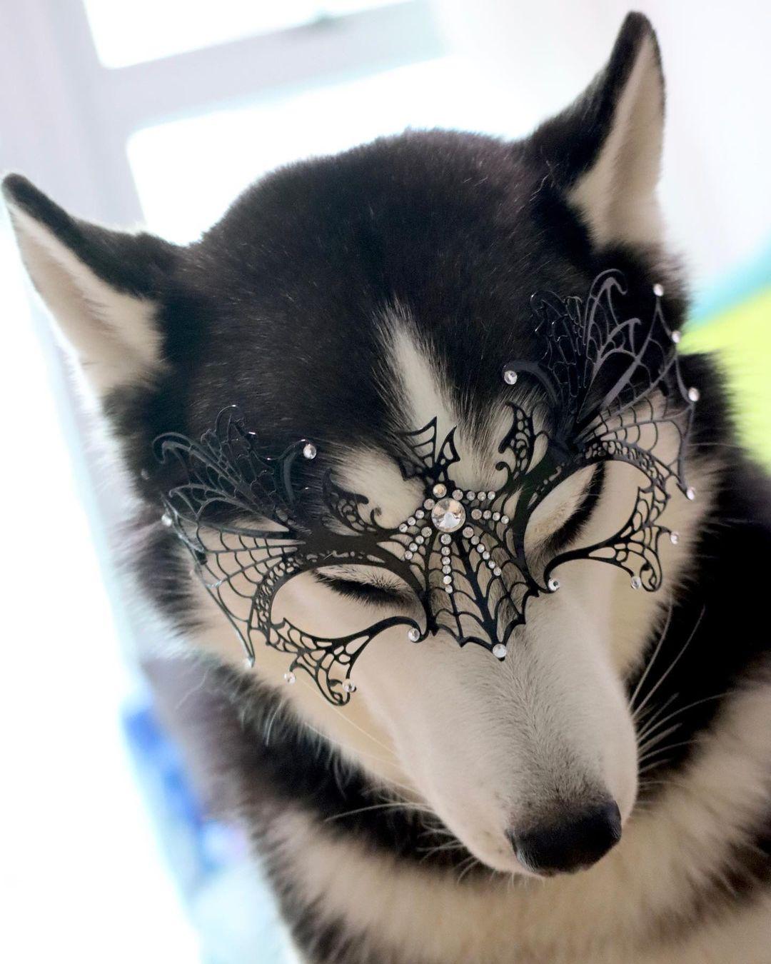 Hermosa husky tiene a todos enamorados e Internet