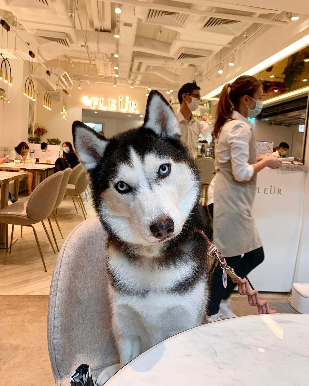 Hermoso husky en un restaurante