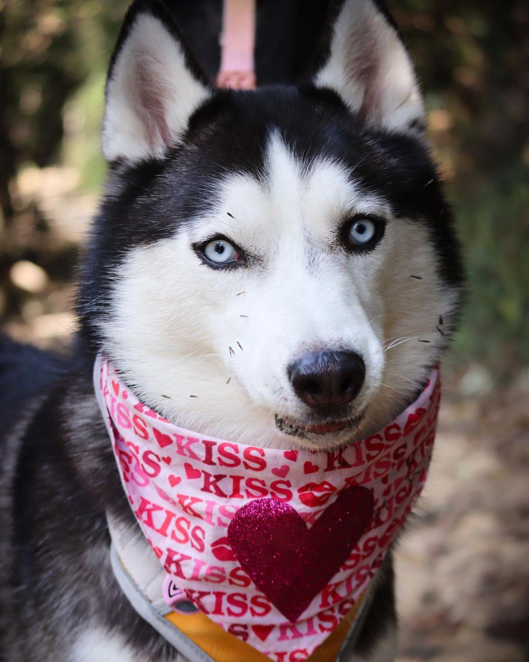 Husky tiene a todos enamorados en Internet
