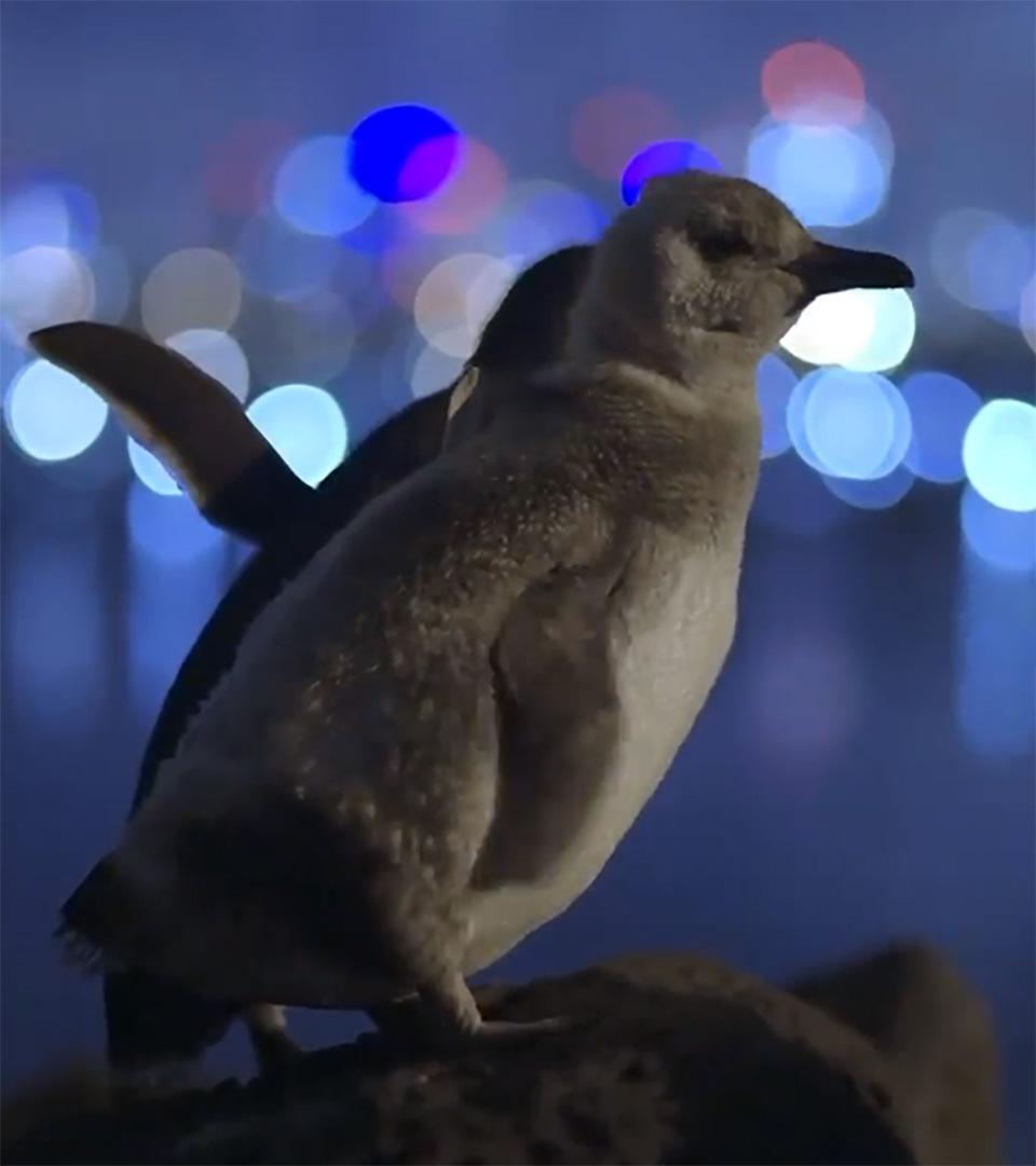Pingüinos en la roca