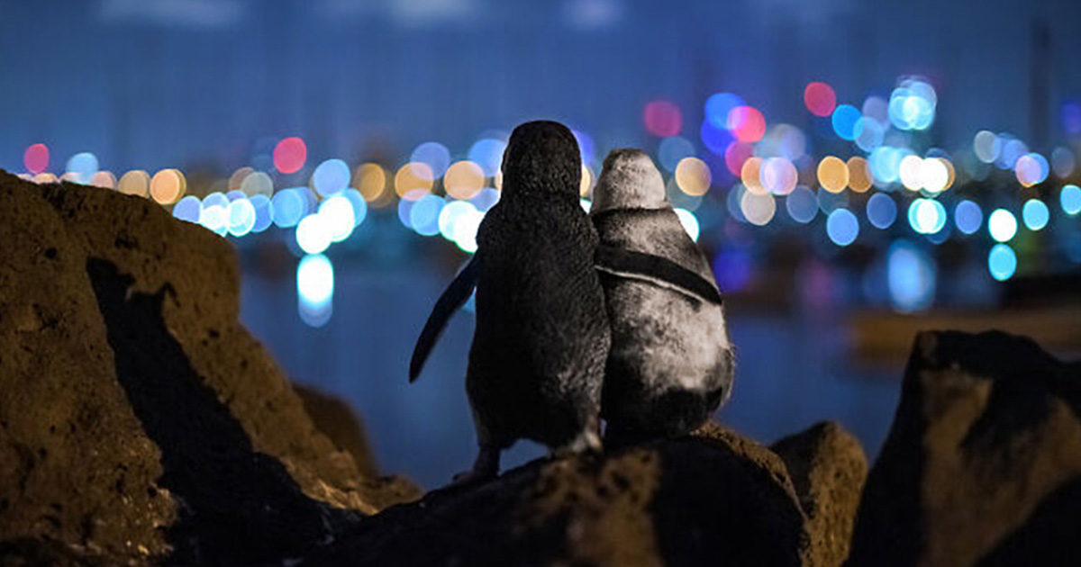 Pingüinos viudos abrazándose ganan premio de fotografía