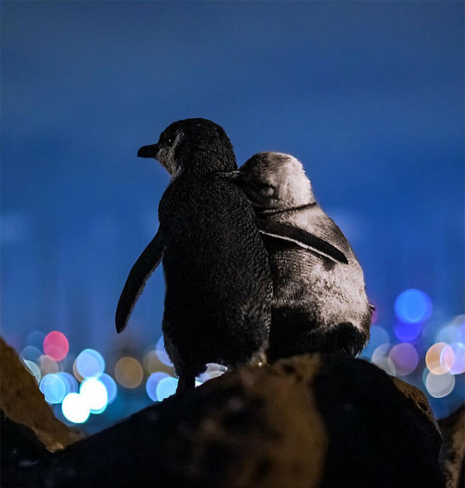 Pingüinos viudos abrazándose roca