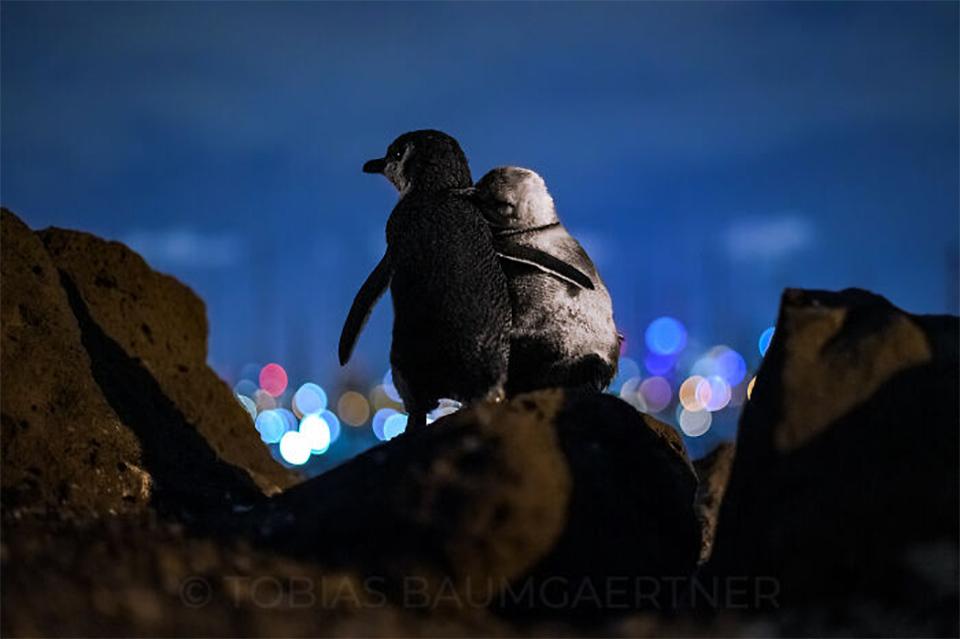Pingüinos viudos abrazándose