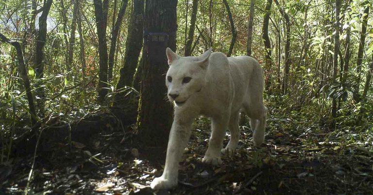 Científicos confirman las primeras imágenes que capturan a un puma leucista
