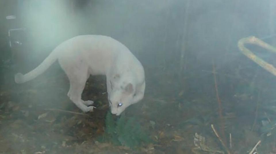 Puma blanco brasil