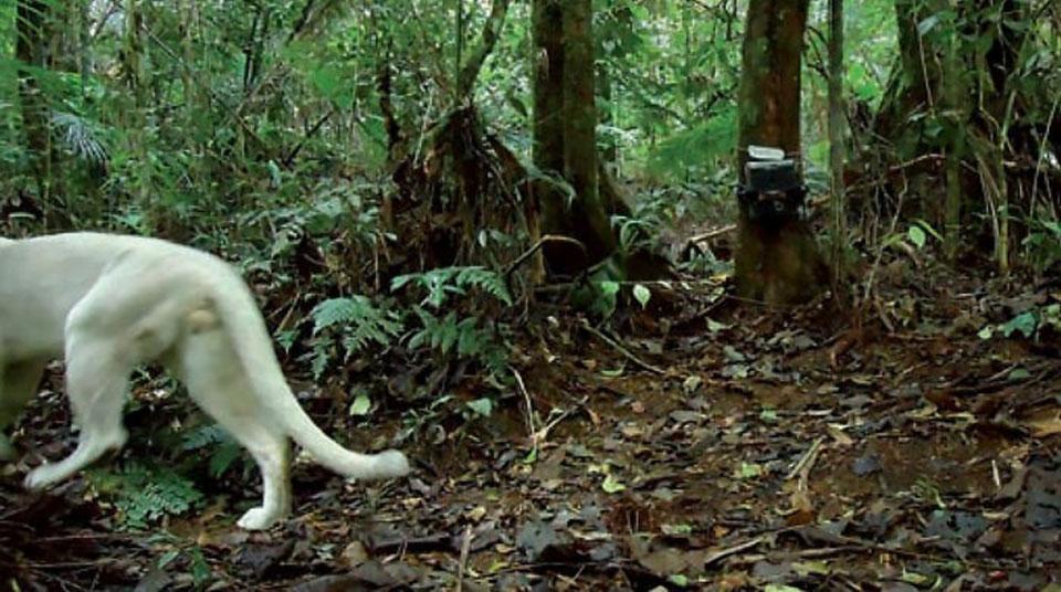 Puma unico leucismo brasil