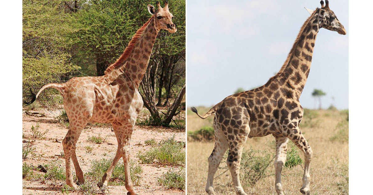 Científicos descubren por primera vez jirafas enanas