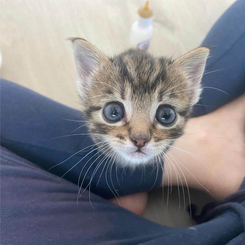 Hampton gatito rescatado en las vegas
