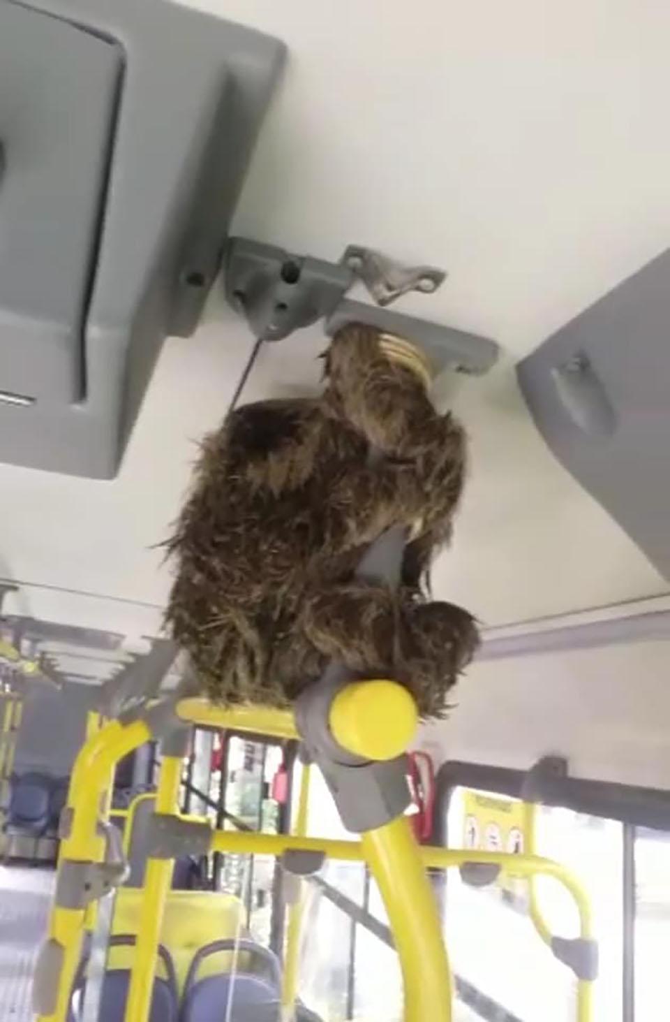 Perezoso perdido en un autobús