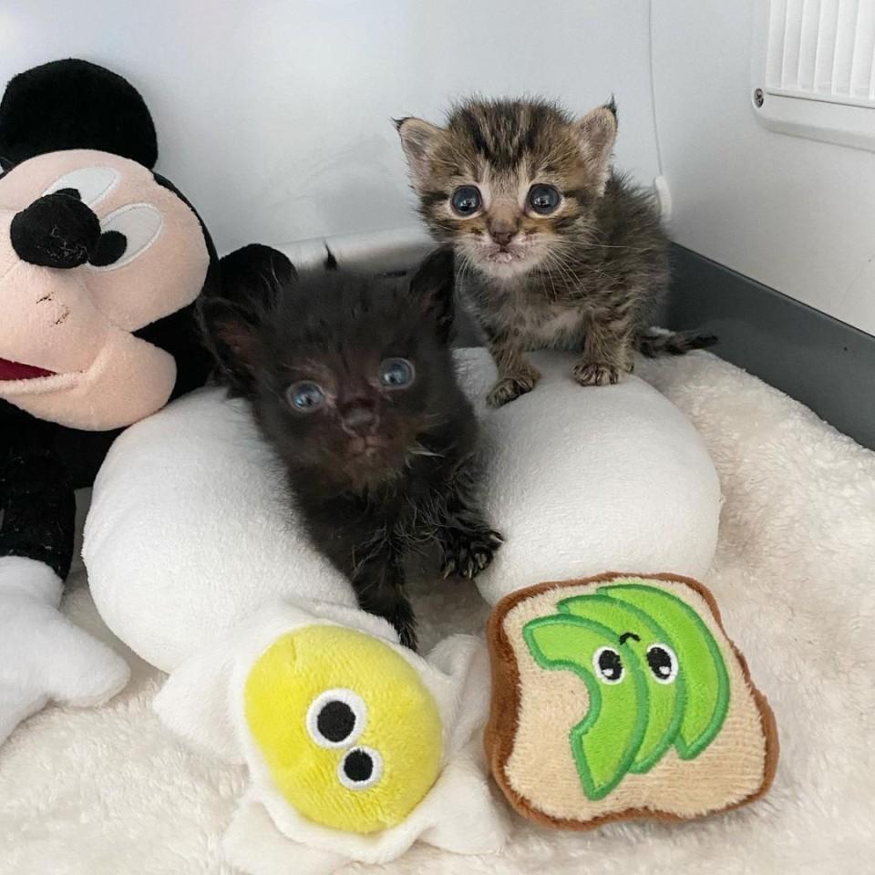 gatitos rescatados vegas
