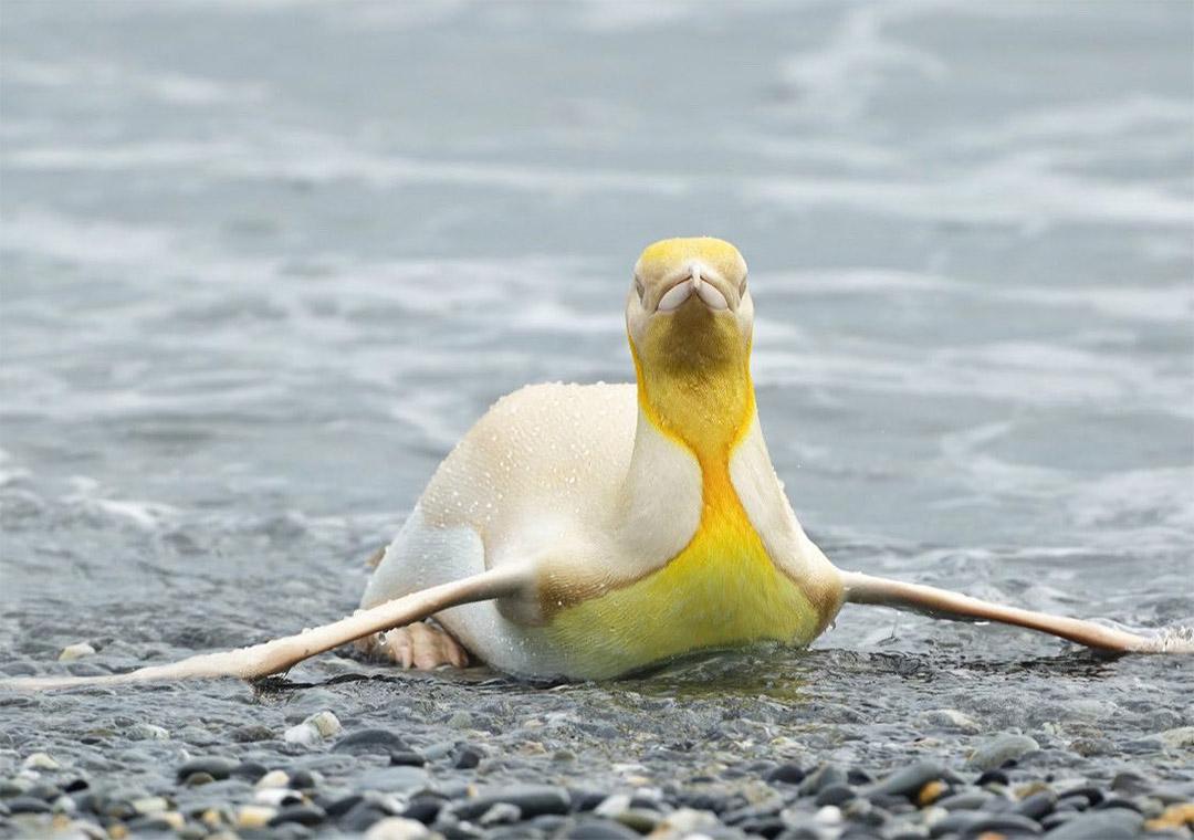 Fotógrafo de vida salvaje pingüino
