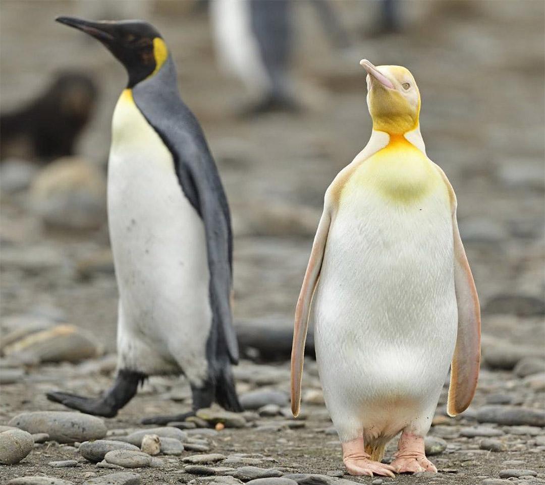 Pingüino amarillo