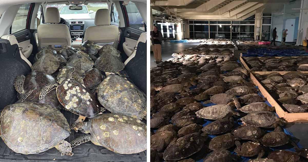 La gente está llenando sus autos con tortugas marinas para salvarlos de la tormenta invernal