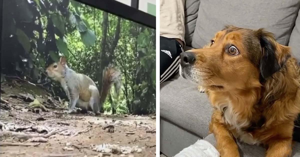 Perro se sorprende un poco cuando ve ardillas 'dentro' de su televisor