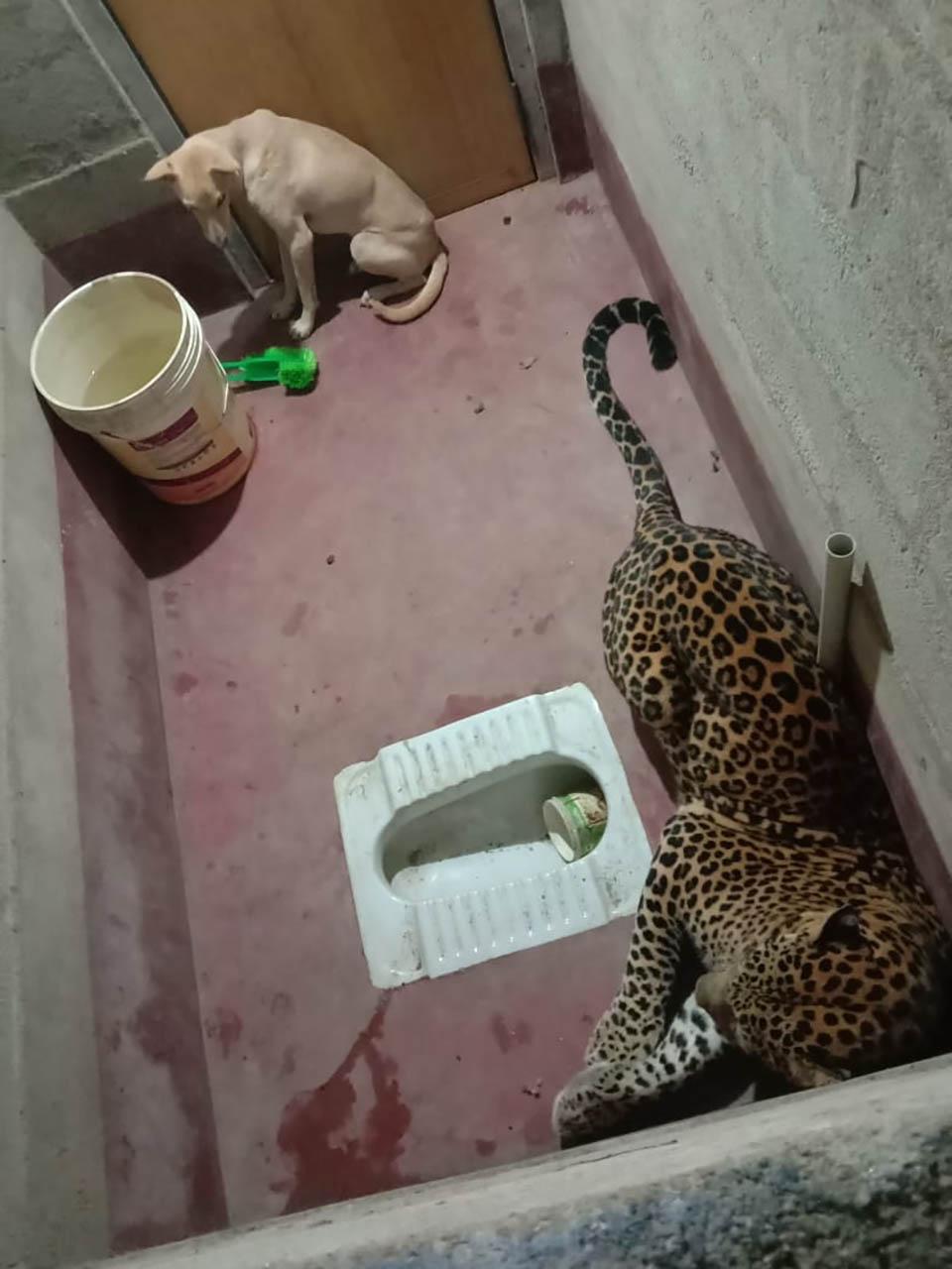 Perro y leopardo quedan atrapados en el baño