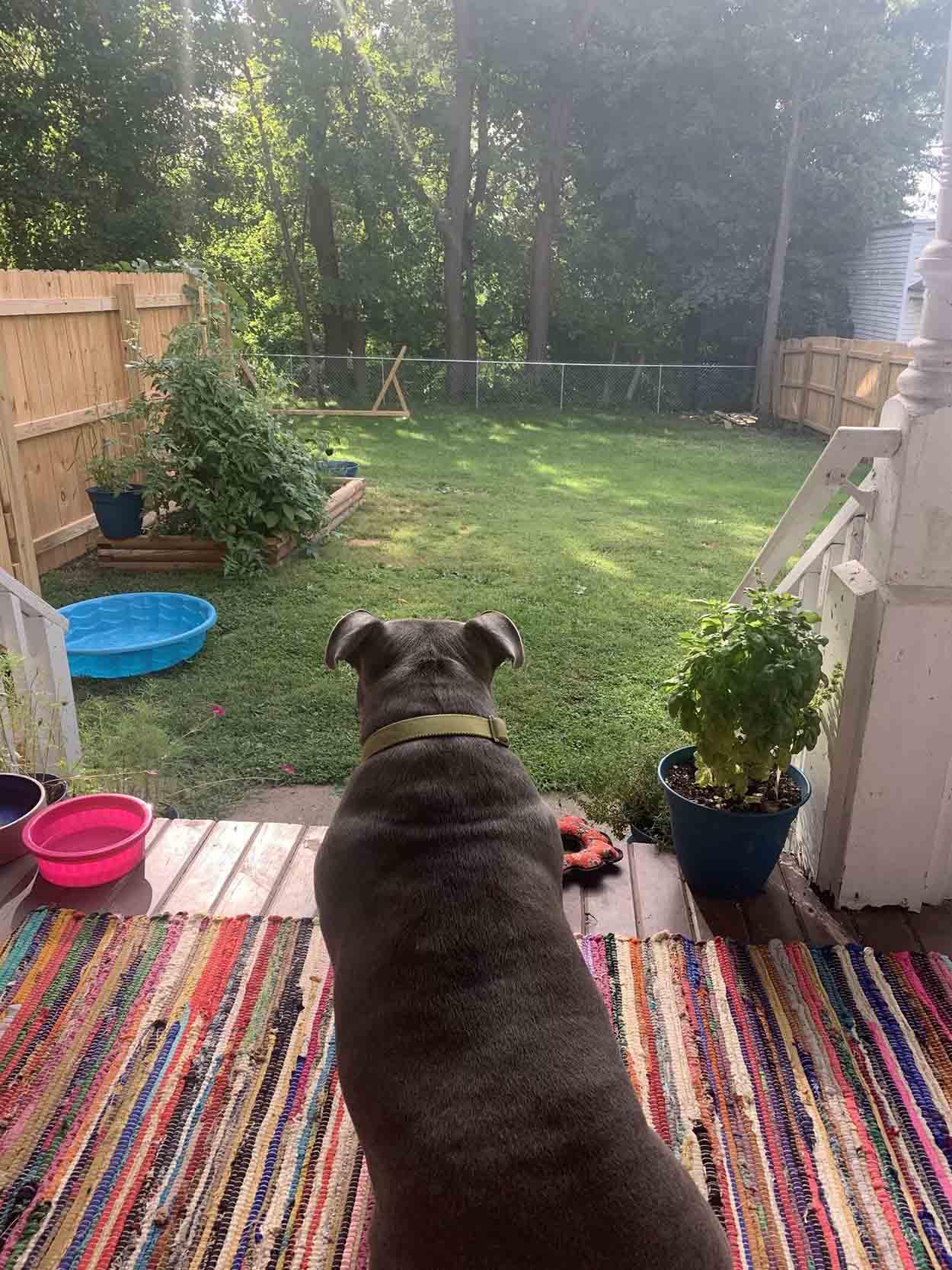 Pitbull rescatada observa su jardín