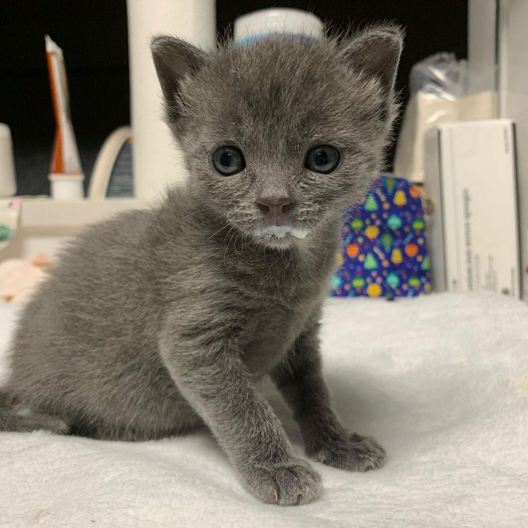 Adorable gatito gris