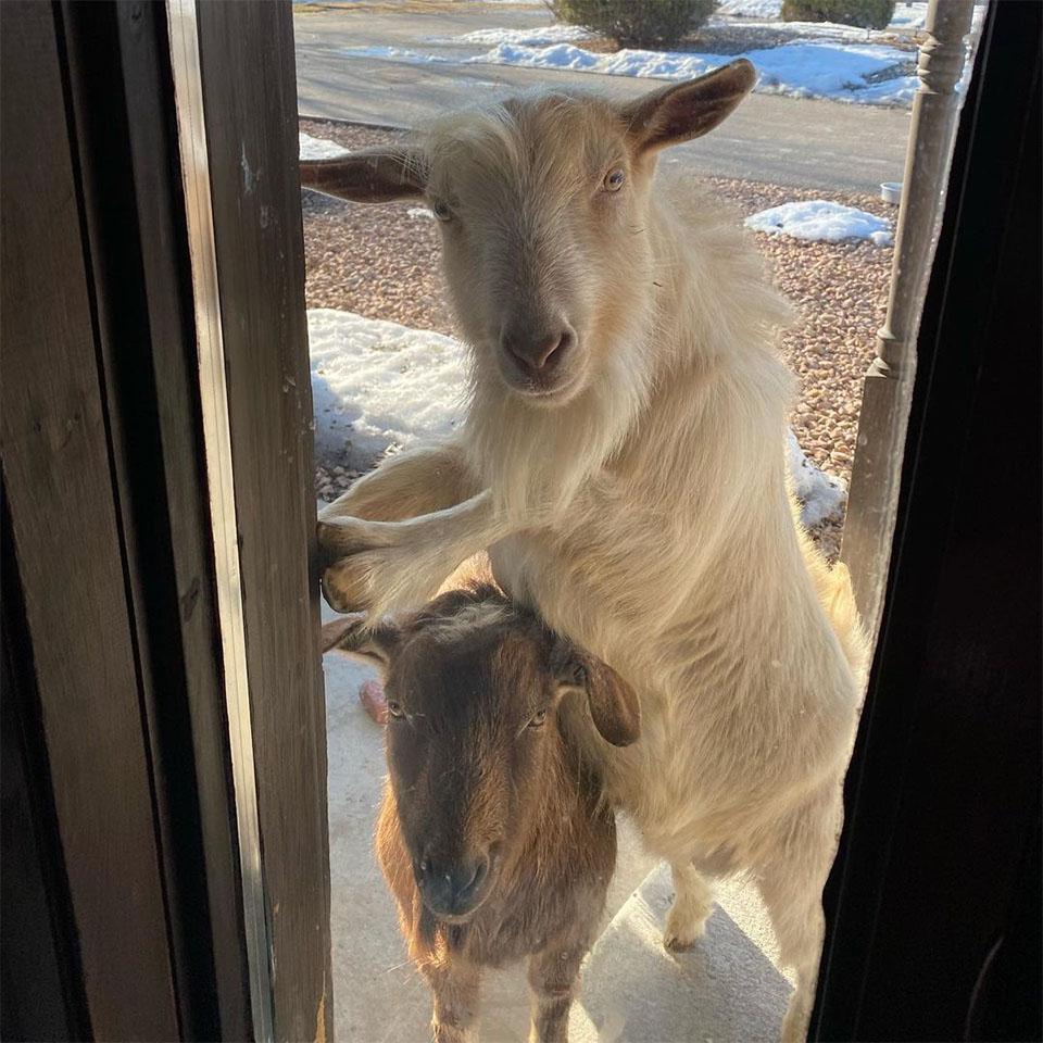 Cabras adoptadas