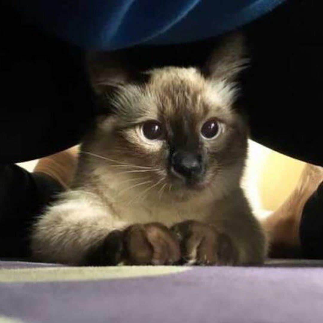 Dulce gatito siamés