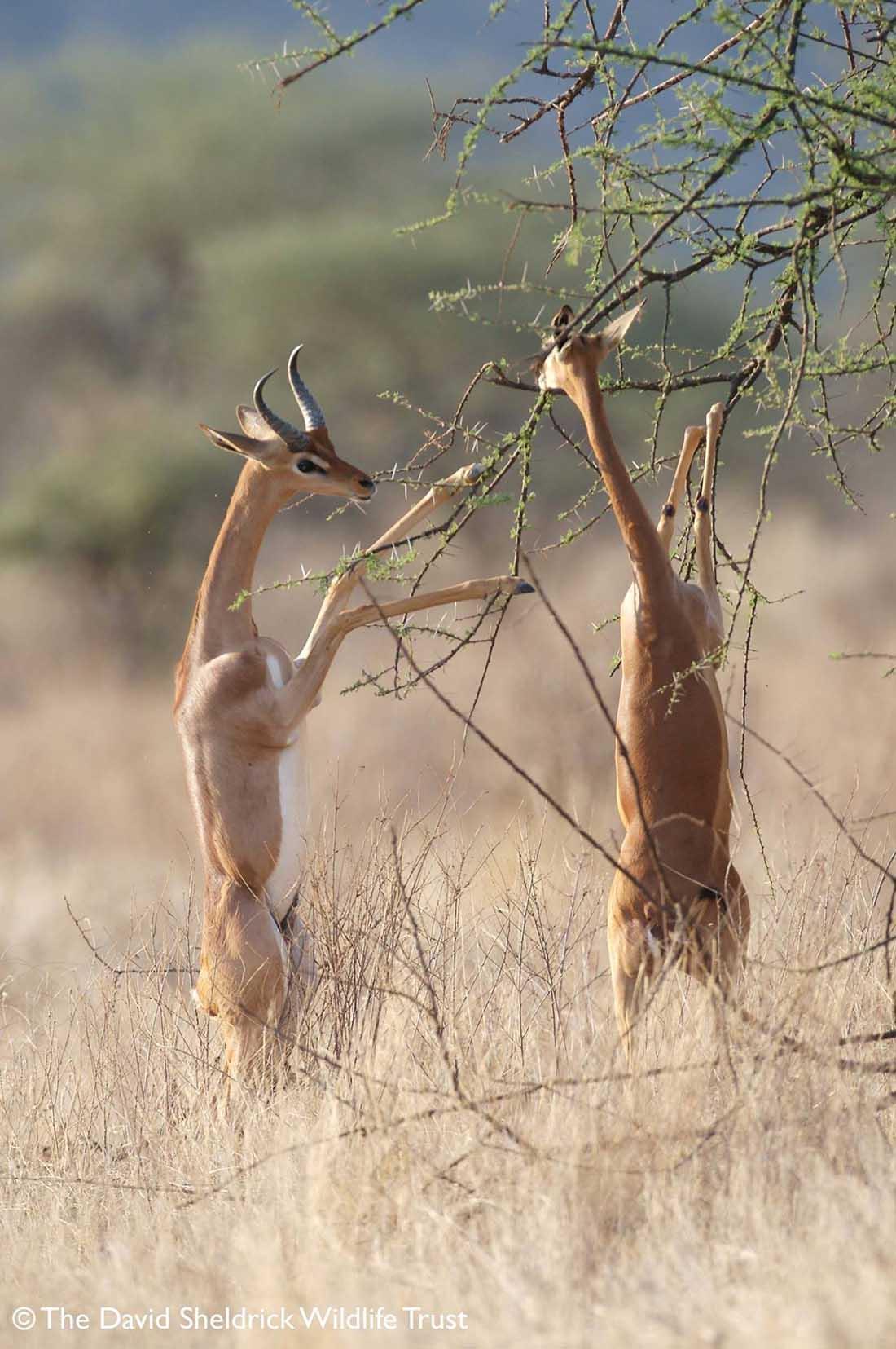 Gerenuk alimentándose