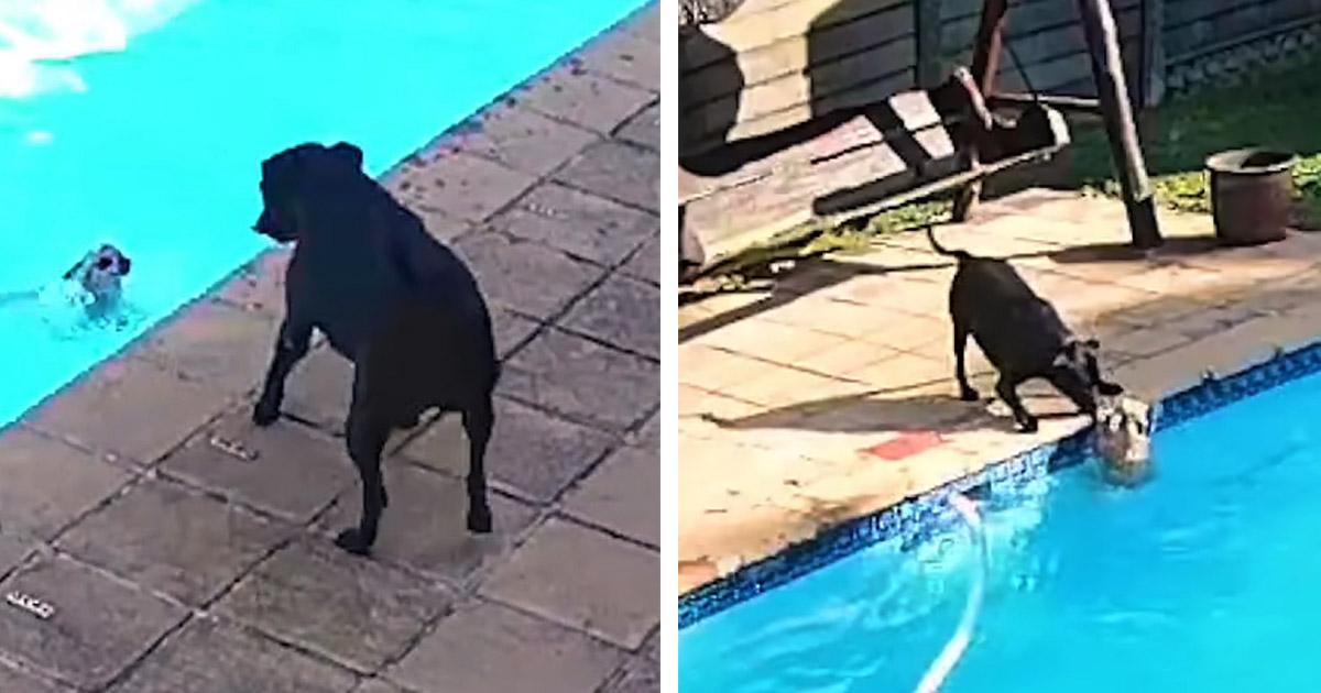 Cámara de seguridad capta a una perrita salvando a su hermanito que cayó a la piscina
