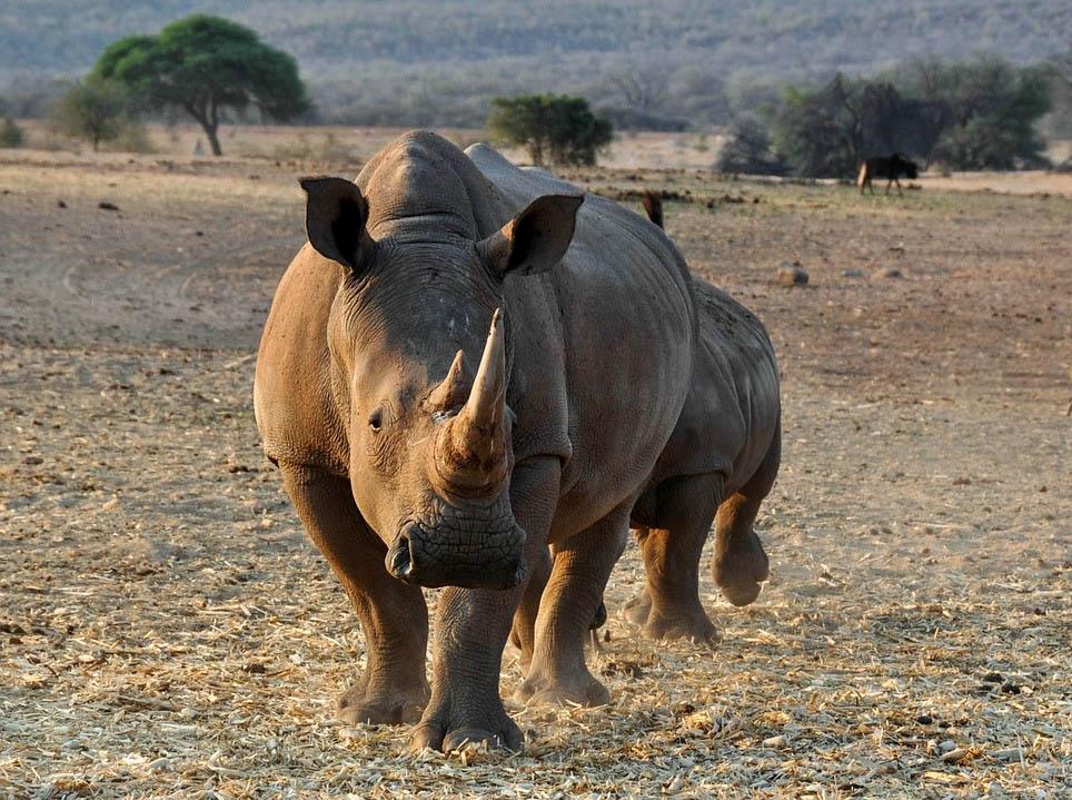 Cazador furtivo de rinocerontes