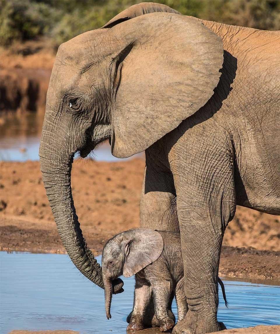 Elefante reproductor